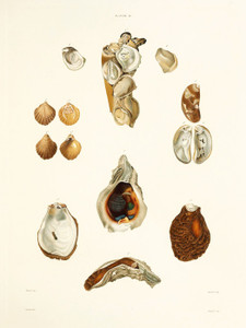 Art Prints of Shells, Plate 20 by Jean-Baptiste Lamarck
