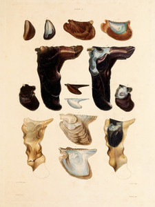 Art Prints of Shells, Plate 16 by Jean-Baptiste Lamarck