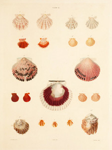 Art Prints of Shells, Plate 18 by Jean-Baptiste Lamarck