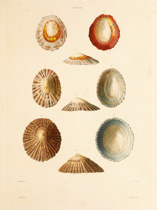 Art Prints of Shells, Plate 24 by Jean-Baptiste Lamarck