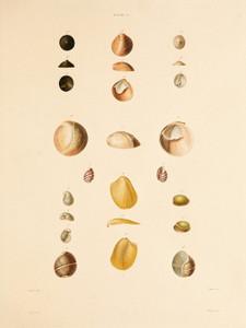 Art Prints of Shells, Plate 27 by Jean-Baptiste Lamarck