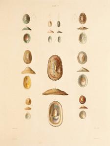 Art Prints of Shells, Plate 26 by Jean-Baptiste Lamarck