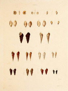Art Prints of Shells, Plate 32 by Jean-Baptiste Lamarck