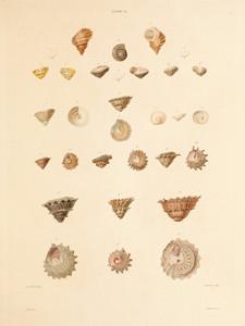 Art Prints of Shells, Plate 36 by Jean-Baptiste Lamarck