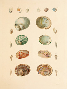 Art Prints of Shells, Plate 35 by Jean-Baptiste Lamarck