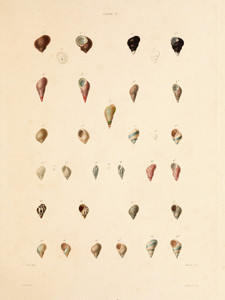 Art Prints of Shells, Plate 39 by Jean-Baptiste Lamarck