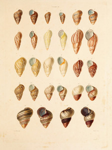 Art Prints of Shells, Plate 41 by Jean-Baptiste Lamarck