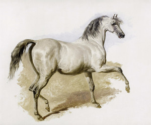 Art Prints of Study of a Grey Arab Mare by John Frederick Herring