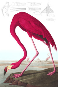 Art Prints of American Flamingo by John James Audubon