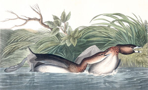 Art Prints of American Pied Billed by John James Audubon