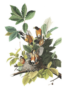 Art Prints of American Robin by John James Audubon
