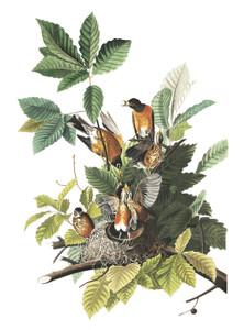 Art Prints of American Robin by John James Audubon