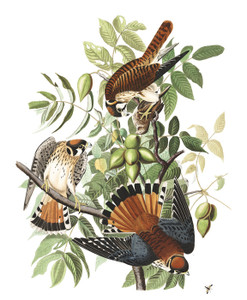 Art Prints of American Sparrow Hawk by John James Audubon