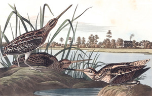 Art Prints of American Snipe by John James Audubon