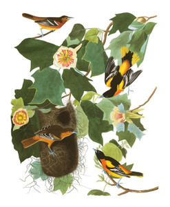 Art Prints of Baltimore Oriole by John James Audubon