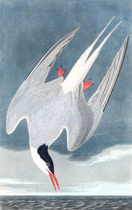 Art Prints of Arctic Tern by John James Audubon