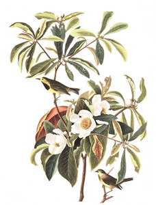 Art Prints of Bachman's Warbler by John James Audubon