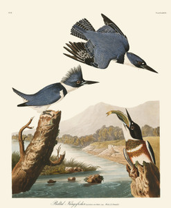 Art Prints of Belted Kingfisher by John James Audubon