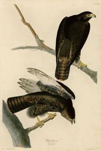 Art Prints of Black Warrior by John James Audubon