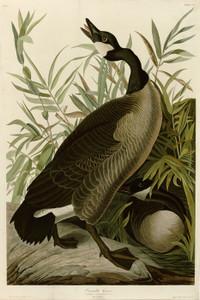 Art Prints of Canada Goose by John James Audubon