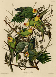 Art Prints of Carolina Parakeet by John James Audubon