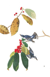 Art Prints of Cerulean Warbler by John James Audubon
