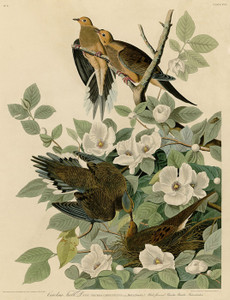Art Prints of Carolina Turtle Dove by John James Audubon