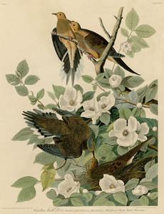 Art Prints of Carolina Turtle Dove by John James Audubon