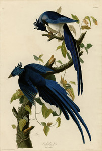 Art Prints of Columbia Jay by John James Audubon