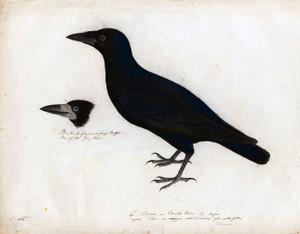 Art Prints of English Crow by John James Audubon