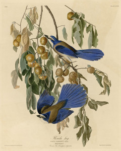 Art Prints of Florida Jay by John James Audubon