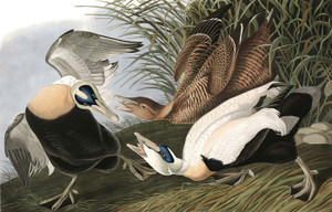 Art Prints of Eider Duck by John James Audubon