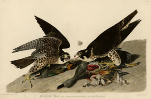Art Prints of Great Footed Hawk by John James Audubon