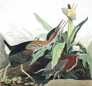Art Prints of Green Heron by John James Audubon