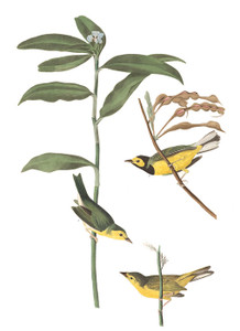 Art Prints of Hooded Warbler by John James Audubon