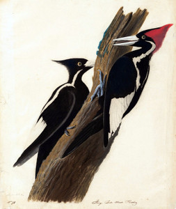 Art Prints of Ivory Billed Woodpecker II by John James Audubon