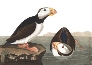 Art Prints of Large Billed Puffin by John James Audubon