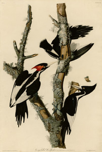 Art Prints of Ivory Billed Woodpecker by John James Audubon