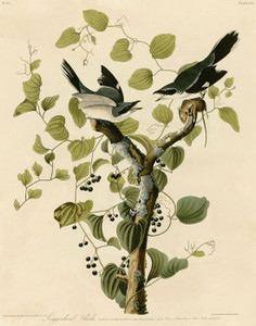 Art Prints of Loggerhead Shrike by John James Audubon