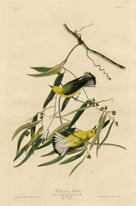 Art Prints of Prothonotary Warbler by John James Audubon