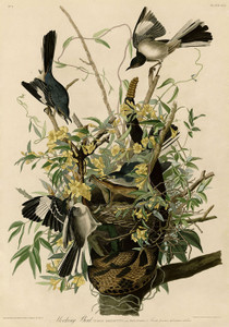 Art Prints of Mocking Bird by John James Audubon