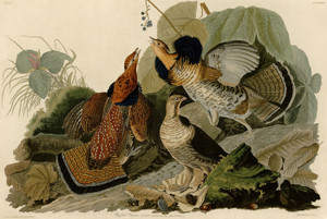 Art Prints of Ruffed Grouse by John James Audubon