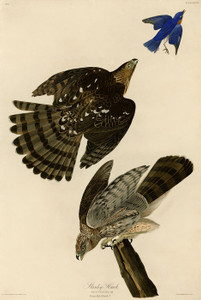 Art Prints of Stanley Hawk by John James Audubon