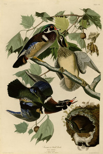 Art Prints of Summer or Wood Duck by John James Audubon