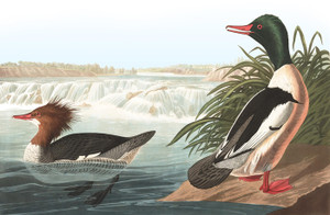 Art Prints of Waterfowl, Common Merganser or Goosander by John James Audubon
