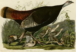 Art Prints of Wild Turkey I by John James Audubon
