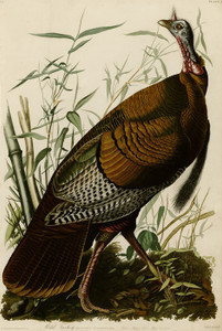 Art Prints of Wild Turkey II by John James Audubon