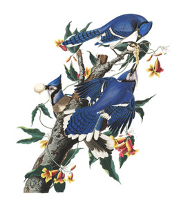 Art Prints of Blue Jay by John James Audubon