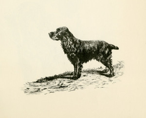 Art Prints of Cocker Spaniel 2 by Lucy Dawson