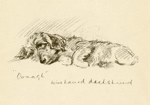 Art Prints of Oonagh 6, Wire Haired Dachshund by Lucy Dawson